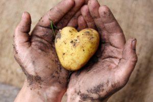 Pomme de terre coeur